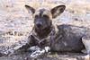 Wild Dog  Selous Tanzania