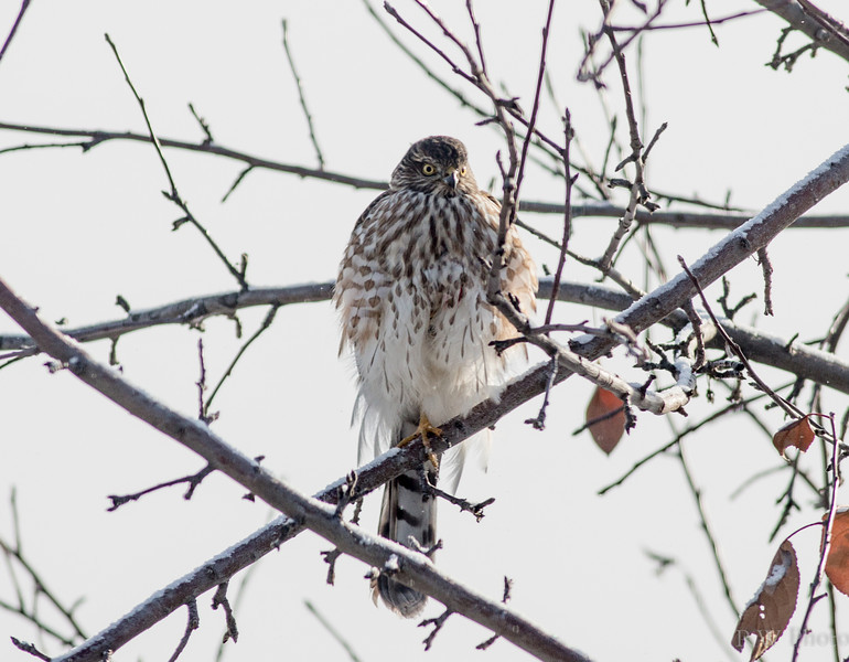 Sharp-shinned hawk at -10F