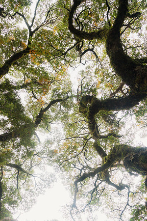 Montane beech trees in upper Hollyford Valley, Darran Mountains, Fiordland National Park, New Zealand