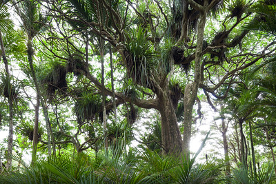 Epiphyte draped puriri tree with young nikau. Dunns Bush.