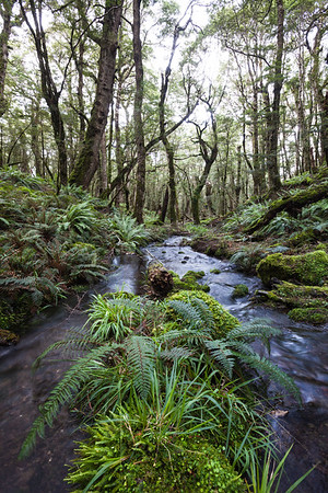 Stream and beech forest, Takitimu Mountains