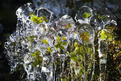 Beech leaves encapsulated by ice, Pass Burn, Mavora Walkway, Otago