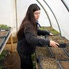 BEN GARVER — THE BERKSHIRE EAGLE<br /> Sophie Tannenbaum works with flats of seedlings at Farm Girl Farm on North Plain Road in Great Barrington. Thursday, April 30, 2020. Farm Girl Farm sells seedlings online for pickup at North Plain Farm and the Coop in Great Barrington.  The seedlings are mostly for vegetable gardens.