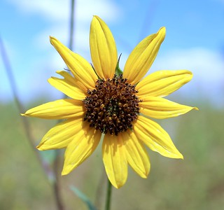 Sunflower at Willow Lake (2018)