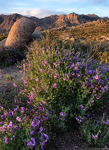 Solanum xanti - chaparral nightshade and Granite Mountain