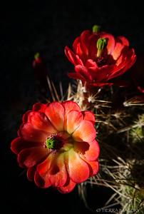Claret Cup Cactus (Echinocereus triglochidiatus)