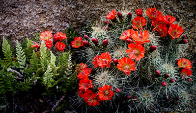 Claret Cup Cactus (Echinocereus triglochidiatus) and Cloak Ferns (Cheilantes sp.)