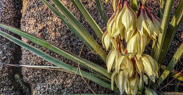 Navajo Yucca (Yucca Baccata)