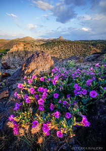 Colorado Four O'clock (Mirabilis multiflora) along the upper Verde River