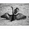 Two Anhingas in love dance