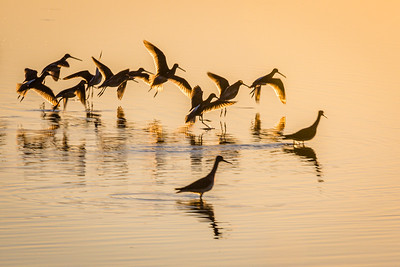 Sunset Dowitchers