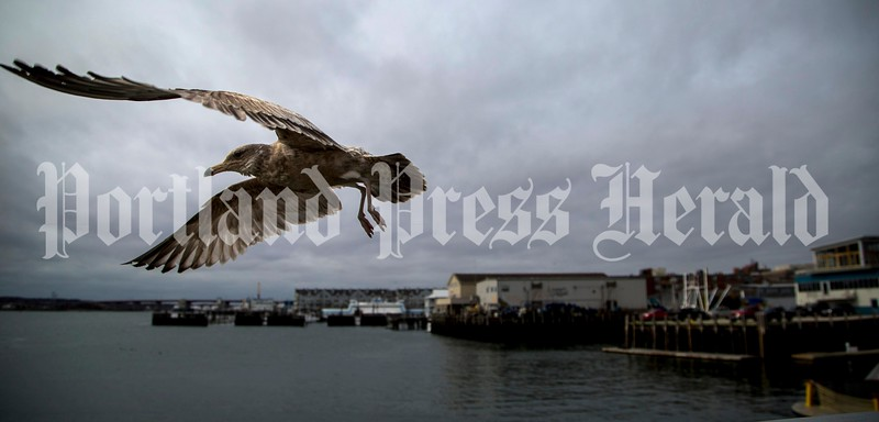 A juvenile herring gull takes flight from Maine State Pier in this 2016 photo. (Photo by Ben McCanna/Press Herald)