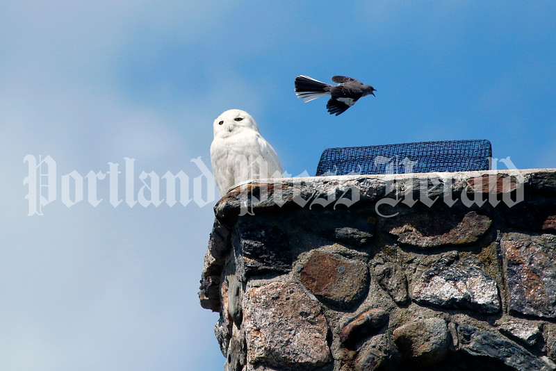 Snowy owl takes up rare summertime residence in Wells