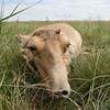 Kranke Saiga Antilope