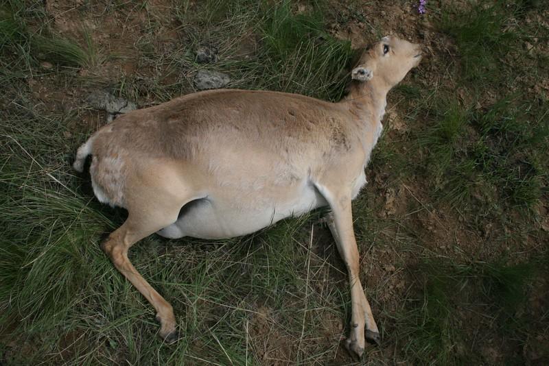 Tote Saiga Antilope, Mai 2015