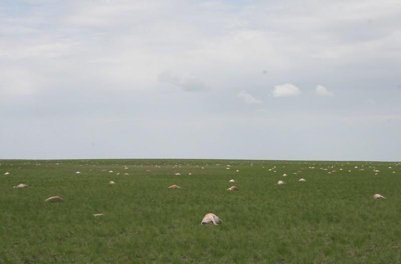 Saiga Massensterben im Mai 2015, Kasachstan