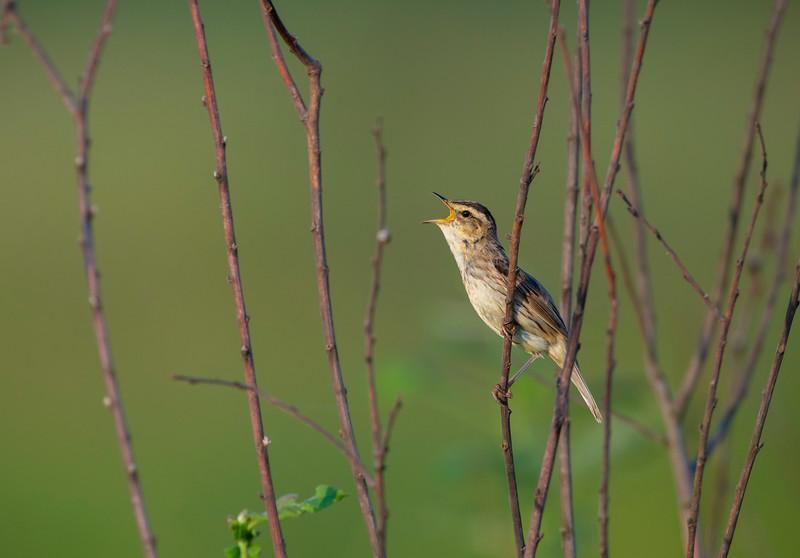 An Aquatic Warbler singing in the Pripiat-Stokhid National Park near the town of Sudche in the Polesie area, Ukraine. © Daniel Rosengren