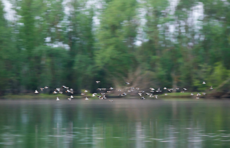 Ruffs come in enormous numbers during the migration to the River Pripyat. This is an extremely important site for migrating birds (mainly waders) who stop here to feed on the abundance of food before continuing their migration. Turov area, Polesie, Belarus. © Daniel Rosengren