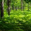 Ferns in the Pripiat-Stokhid National Park in the Polesie area, Ukraine. © Daniel Rosengren
