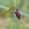 A Dragonfly in the Pripiat-Stokhid National Park in the Polesie area, Ukraine. © Daniel Rosengren