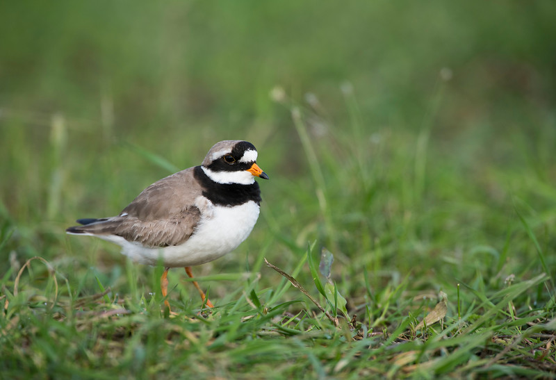 Common Ringed Plovers breed on the River Pripyat Floodplains. Turov area, Polesie, Belarus. © Daniel Rosengren