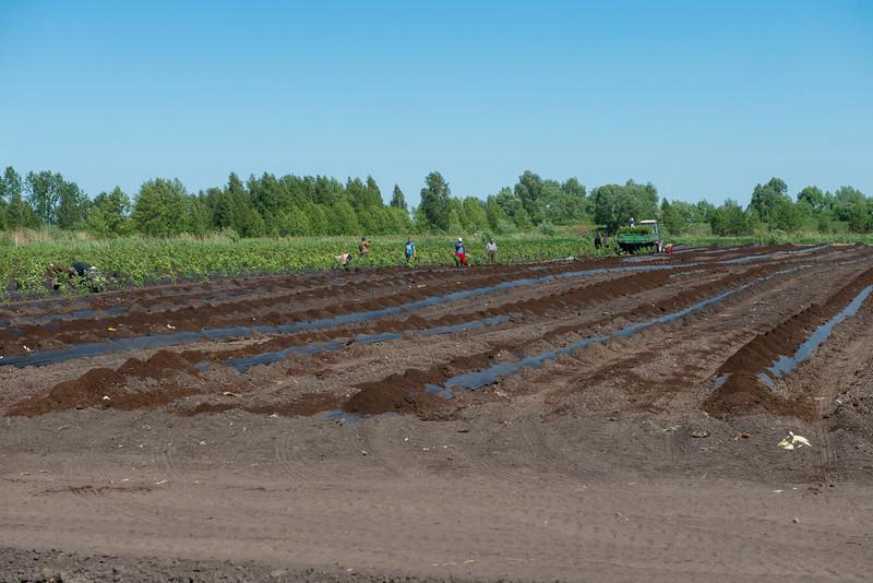 A plantation in the Polesie area, Belarus. © Daniel Rosengren