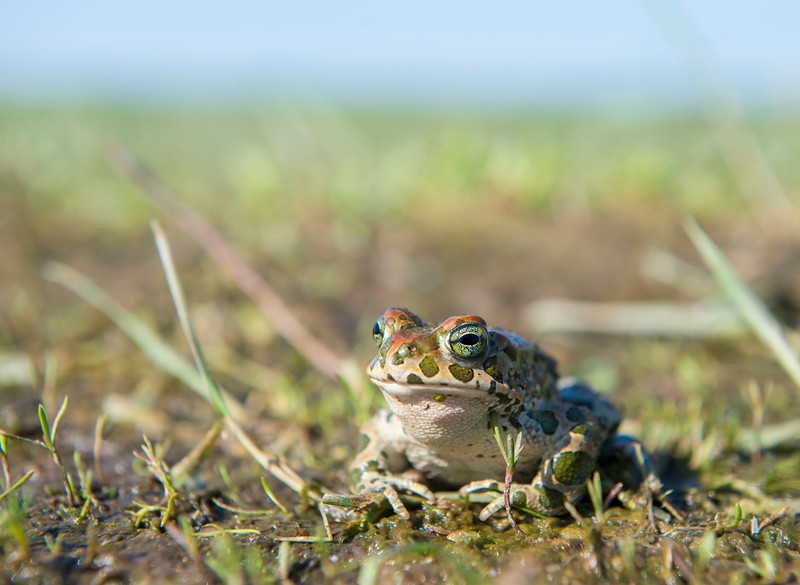 A European Green Toad at the River Pripyat Floodplains. Turov area, Polesie, Belarus. © Daniel Rosengren