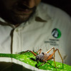 Claus Garcia and a giant cricket in Yaguas, Peru. © Daniel Rosengren