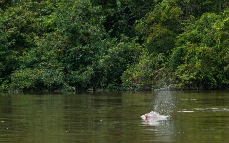 Pink River Dolphin in Yaguas, Peru. © Daniel Rosengren