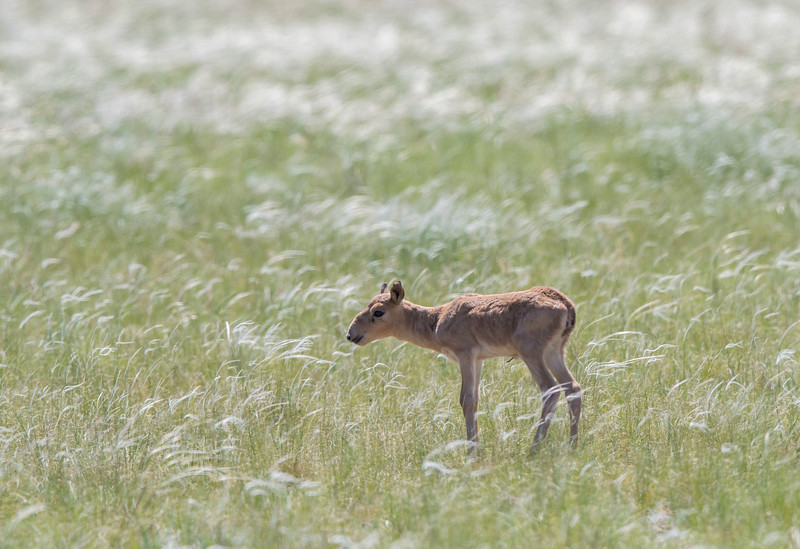 A Saiga calf in the area near Andasaiskiy Nature Sanctuary (Zakaznik), Kazakhstan. © Daniel Rosengren