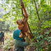 A young orangutan (Kedaung) released by trainer Siti Fatimatazzahra for jungle school. Before being released into the wild, orangutans need to learn several skills so they can survive better. They learn to stay up, away from the ground (where tigers may roam), what can be eaten and climbing skills. Trainer Kresno Handrianto is seen behind. Open Orangutan Sanctuary, near Bukit Tigapuluh, Sumatra, Indonesia. © Daniel Rosengren
