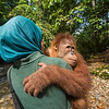 A young orangutan (Kedaung) carried out by trainer Siti Fatimazzahra to jungle school. Before being released, orangutans need to learn several skills so they can survive better. They learn to stay up, away from the ground (where tigers may roam), what can be eaten and climbing skills. Open Orangutan Sanctuary, near Bukit Tigapuluh, Sumatra, Indonesia. © Daniel Rosengren