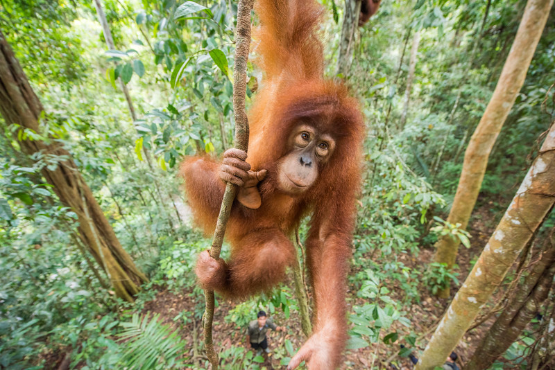 A young orangutan (Suro) out on jungle school. Before being released, orangutans need to learn several skills so they can survive better. They learn to stay up, away from the ground (where tigers may roam), what can be eaten and climbing skills. Trainer Kresno Handrianto is seen below. Open Orangutan Sanctuary, near Bukit Tigapuluh, Sumatra, Indonesia. © Daniel Rosengren