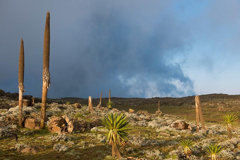 Giant lobelias (one of many species endemic to Ethiopia) on the Sanetti Plateau, Bale Mountains NP, Ethiopia. © Daniel Rosengren / FZS