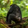 A male chimpanzee in Mahale National Park, Tanzania. © Daniel Rosengren / FZS