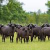 A herd of African Buffalo in Selous Game Reserve, Tanzania. © Daniel Rosengren / FZS