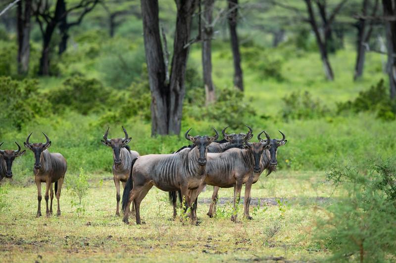 A group of Nyassaland wildebeest (Connochaetes taurinus johnstone) in Selous Game Reserve, Tanzania. © Daniel Rosengren / FZS