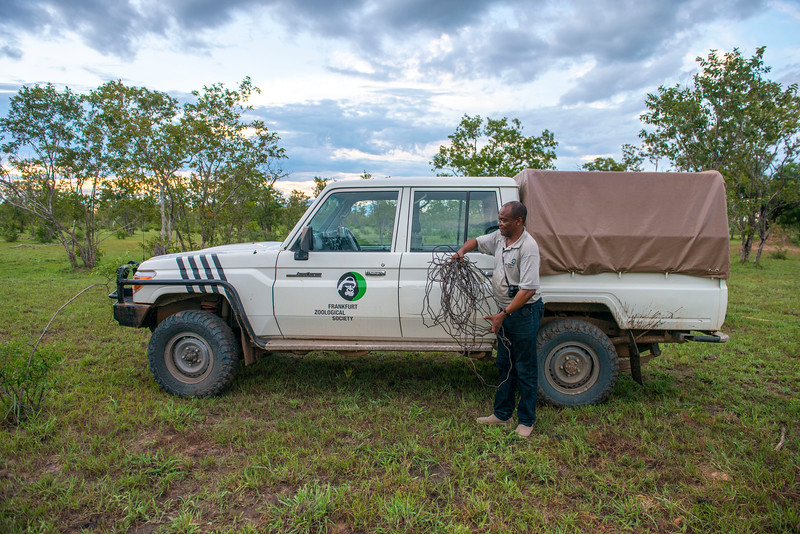 Asantael Melita (FZS staff) with 7 poacher's snares just removed in Selous Game Reserve, Tanzania. © Daniel Rosengren / FZS