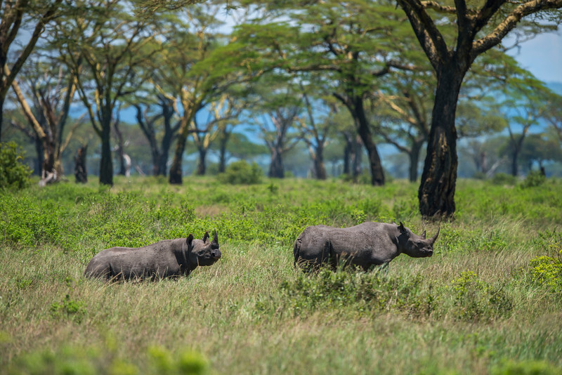 Two black rhinos (a mother with a large calf) in the Moru area of the Serengeti National Park, Tanzania. © Daniel Rosengren / FZS