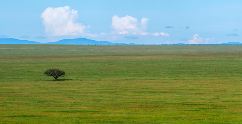 The iconic grass plains of Serengeti NP and a single Sausage Tree. Tanzania. © Daniel Rosengren / FZS