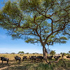 Wildebeest under an Umbrella Thorn in Serengeti, Tanzania. © Daniel Rosengren