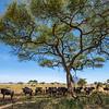 Wildebeest under an Umbrella Thorn in Serengeti, Tanzania. © Daniel Rosengren