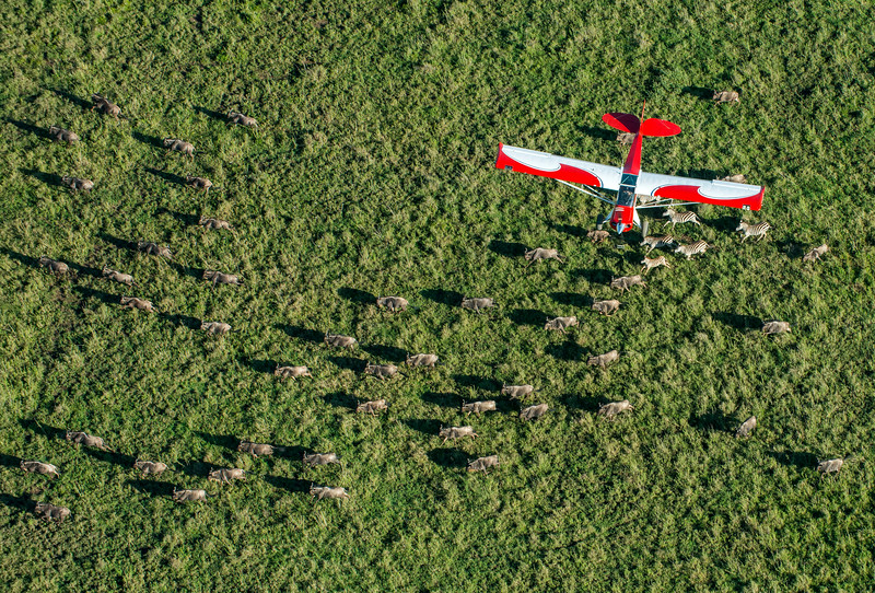 A Husky plane, donated by the German government, that is used for anti-poaching patrolling and surveying the Serengeti. Here it is flying over a herd of wildebeest. Serengeti National Park, Tanzania. © Daniel Rosengren / FZS