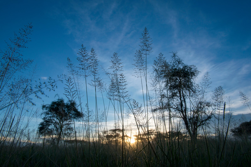 A grass in Seronera, Serengeti, Tanzania. © Daniel Rosengren