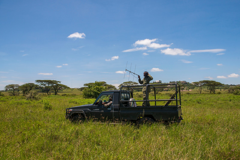 A TANAPA Ranger scanning and searching for rhinos. Radio transmitters have been put in the rhinos' horns that can be tracked with telemetry equipment. Serengeti National Park, Tanzania. © Daniel Rosengren / FZS