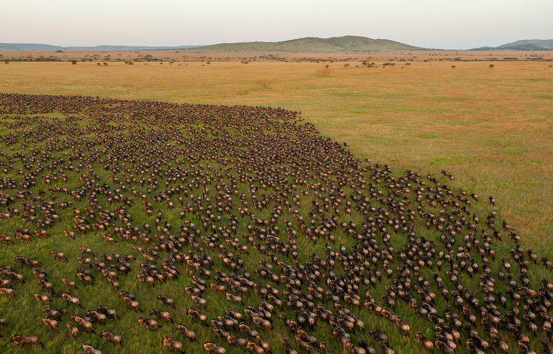The wildebeest migration is the trademark of Serengeti and there are about 1.3 million of them continuously migrating around the ecosystem. Serengeti National Park, Tanzania. © Daniel Rosengren / FZS