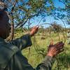 The de-snaring team taking down and dismantling poacher's snares. Grumeti GR, Tanzania. © Daniel Rosengren