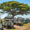Lions resting in a tree attract many tourist vehicles in the Serengeti National Park, Tanzania. © Daniel Rosengren / FZS