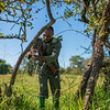 A TANAPA ranger working together with the FZS de-snaring team taking down and dismantling poacher's snares in the Serengeti Ecosystem, Tanzania. © Daniel Rosengren / FZS