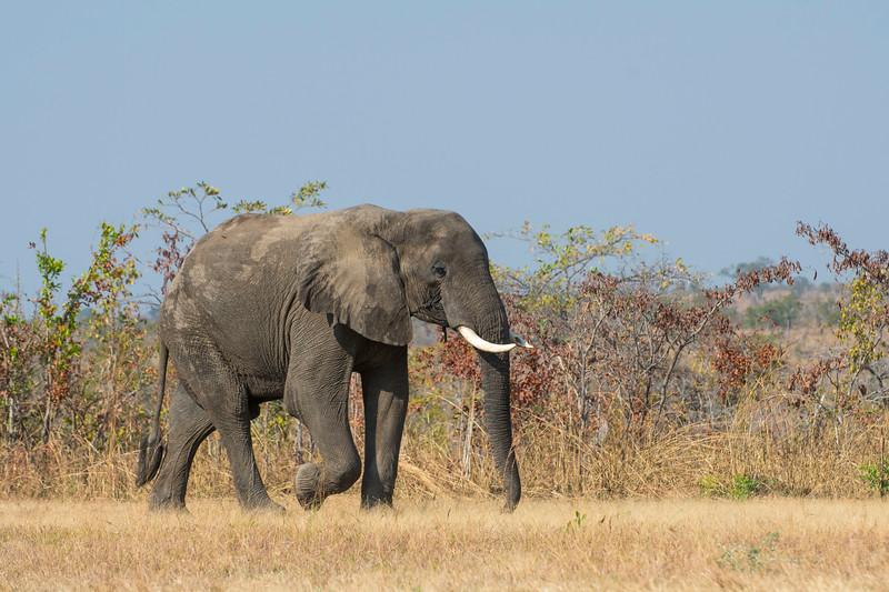 An Elephant in North Luangwa National Park, Zambia. © Daniel Rosengren / FZS